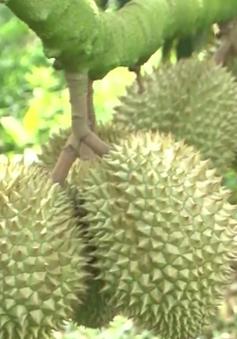 Tiền Giang mở rộng diện tích vườn trồng cây ăn quả