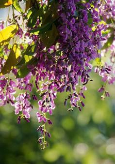 Sơn Trà mơ màng mùa hoa tím