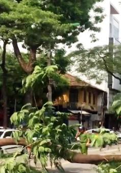 Nguy cơ cây xanh gãy đổ mùa mưa bão tại Hà Nội