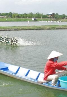 Khánh Hòa: Giá tôm thẻ chân trắng giảm mạnh, hộ nuôi tôm lo lắng