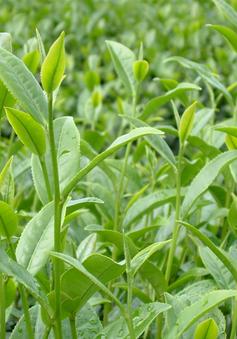 Phát hiện nguyên nhân khiến cây xanh thiếu chất dinh dưỡng ở Anh