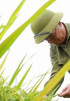 Người thay đổi chất lượng lúa gạo cho quê hương 5 tấn