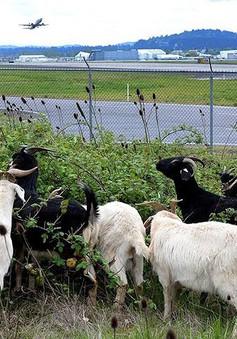Những động vật thay người làm việc ở sân bay