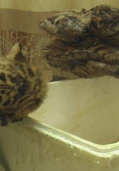 Nghệ An: Bắt giữ vụ mua bán động vật hoang dã quý hiếm, thu giữ 5 cá thể hổ