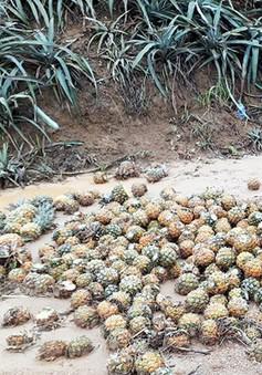 Lào Cai ứng tiền hỗ trợ nông dân bị dứa thối, chuối hỏng