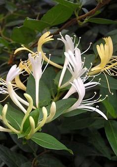 Kim Ngân - Cây hoa, cây thuốc