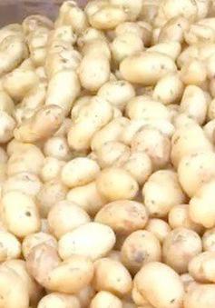 Lâm Đồng: Hơn 1 tỷ đồng thực hiện Đề án nhận diện khoai tây Đà Lạt