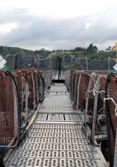 Chile cảnh báo việc ăn cá hồi nhiễm kháng sinh