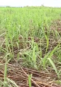Doanh nghiệp phá vỡ hợp đồng với người trồng mía