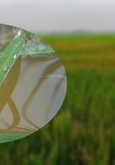 Rầy lưng trắng hại lúa bùng phát trên diện rộng ở Quảng Trị