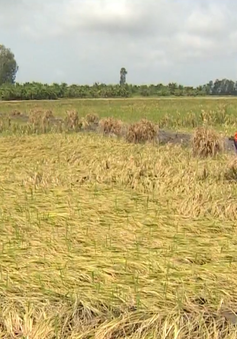 Hàng trăm ha lúa ở Kiên Giang mất trắng do mưa dầm