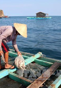 Cá nuôi bè ở Hòn Nghệ (Kiên Giang) liên tục chết bất thường