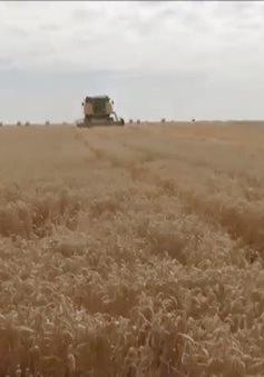 Nông dân Bỉ phải thu hoạch lúa mỳ sớm do nắng nóng và hạn hán