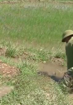 Nông dân Nghệ An gồng mình dưới nắng nóng cứu lúa Hè – Thu