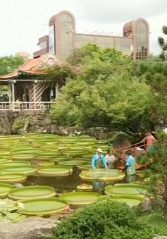 Chiêm ngưỡng hoa súng khổng lồ ở Đài Loan, Trung Quốc