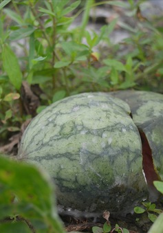 Đà Nẵng: 600 tấn dưa hấu ngập úng, nông dân trắng tay