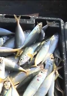 Quảng Trị được mùa câu cá trên biển