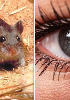 Thành công khôi phục thị lực ở chuột nhờ liệu pháp gen