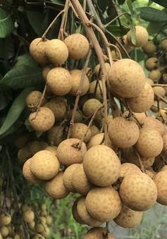 Nhãn Hưng Yên xuất khẩu đi nhiều nước