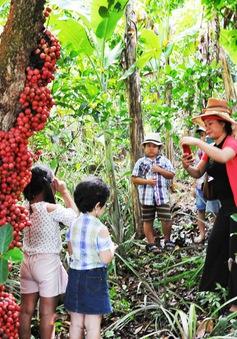 Những vườn cây đỏ trên cao nguyên