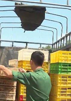 Bắt giữ và tiêu hủy hàng nghìn con gà lậu