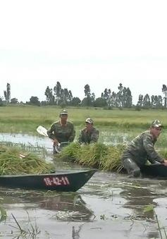 Bộ đội Biên phòng Kiên Giang giúp dân thu hoạch lúa chạy lũ