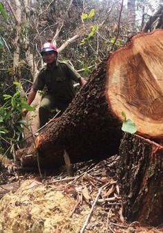 Đắk Lắk: Xin tận thu gỗ gãy đổ để khai thác rừng phòng hộ?