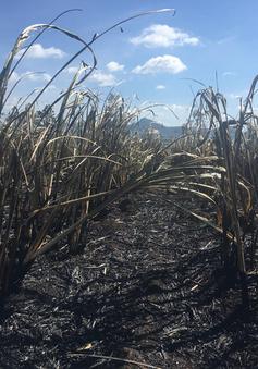 Mía cháy do nắng hạn kéo dài, nông dân gặp khó khăn