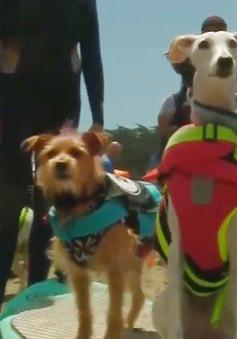 Cuộc thi lướt sóng… dành cho chó