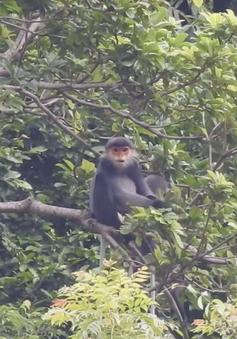 Quảng Nam tìm giải pháp bảo vệ đàn voọc chà vá chân xám tại huyện Núi Thành