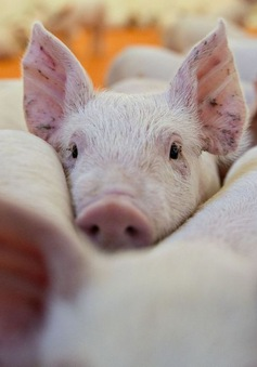 Dịch tả lợn bùng phát mạnh, Nhật Bản ngừng xuất khẩu thịt lợn
