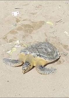 Thả rùa biển nặng gần 9kg về đại dương