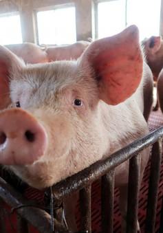 Trung Quốc siết chặt kiểm soát vận chuyển lợn