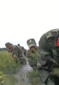 Bộ đội Kiên Giang nỗ lực giúp dân cứu lúa chạy lũ