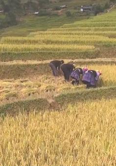 Ngắm mùa vàng tuyệt đẹp ở Mù Cang Chải, Yên Bái