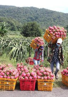 Thanh long Bình Thuận tăng giá mạnh