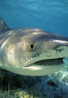 Đàn cá mập hổ bị giết chết sau vụ tấn công du khách