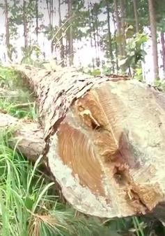 UBND tỉnh Lâm Đồng kiểm tra vụ phá rừng thông tại huyện Lâm Hà