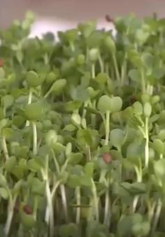 Phát triển mô hình sản xuất rau mầm an toàn tại Bắc Giang