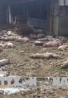 Đắk Nông: 1.200 con lợn của một trang trại bị chết cháy do chập điện