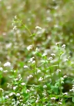 Độc đáo hoa tam giác mạch giữa TP.HCM