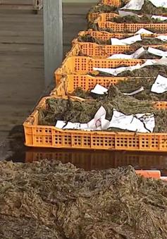 Sản lượng rong biển Hàn Quốc sụt giảm mạnh