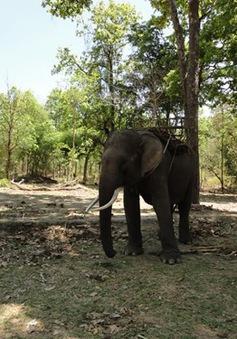 Đắk Lắk gắn chíp điện tử cho đàn voi nhà