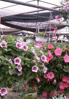 Làng hoa Xuân Quan những ngày giáp Tết