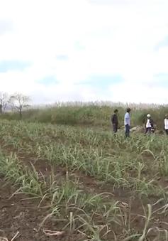Nông dân Gia Lai thích nghi với giá mía giảm