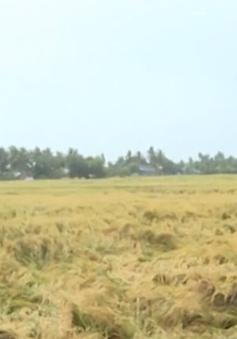 Hàng ngàn ha lúa tại Bạc Liêu bị thiệt hại do mưa bão