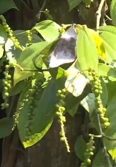 Huyện Hướng Hóa, tỉnh Quảng Trị tìm giải pháp cho người trồng cà phê
