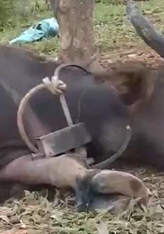 Quảng Trị bùng phát dịch lở mồm long móng sau khi nhận trâu bò dự án