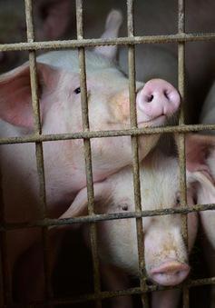 Năm 2021, Việt Nam sẽ có vaccine tả lợn châu Phi