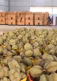 Đắk Lắk phát triển vùng sầu riêng VietGap